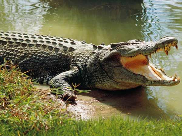 Mơ thấy cá sấu là điềm lành hay dữ?