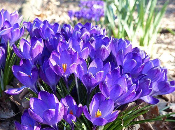 Mơ thấy hoa màu tím đánh con gì?