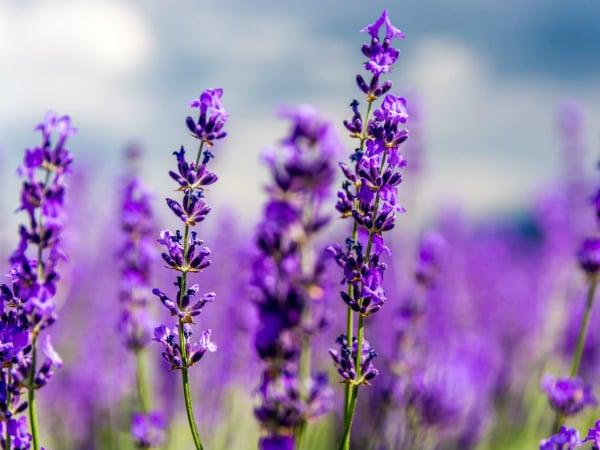 Mơ thấy hoa màu tím điềm báo điều gì?