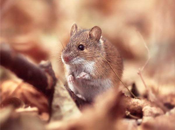Nằm mơ thấy chuột đánh con gì ăn chắc, có điềm báo gì